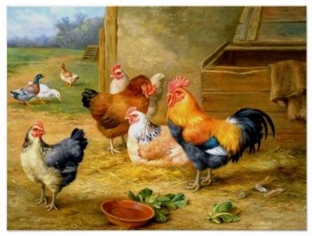 5b23c3d90249c68bb86b60141b41daca--nature-posters-chicken (2)