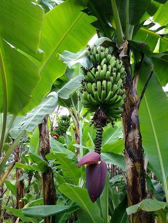 Denna bild har ett alt-attribut som är tomt. Dess filnamn är banana-tree.jpg